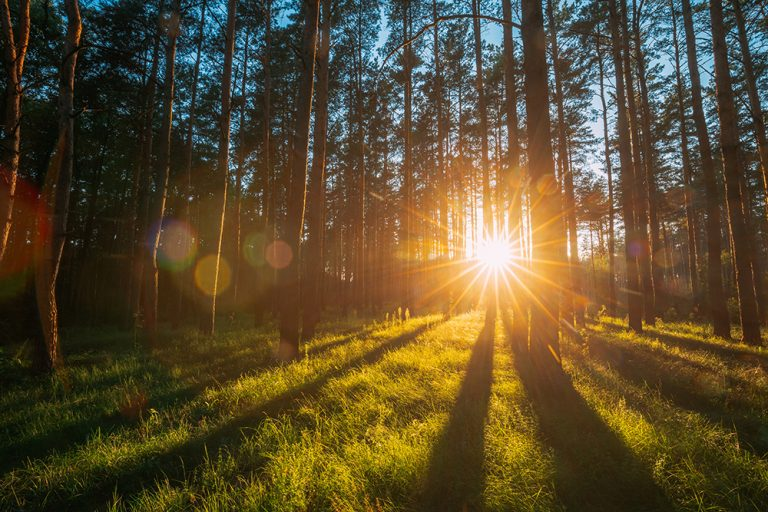 Sunset Sunrise Sun Sunshine In Sunny Summer Coniferous Forest. Sunlight Sunbeams Through Woods In Forest Landscape. Natural Lens Flares.